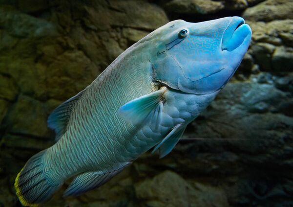 Il pesce napoleone nell'acquario di San Pietroburgo. - Sputnik Italia