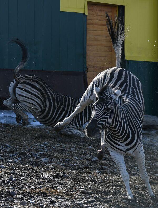 Le zebre fanno una passeggiata nel parco Royev ruchej a Krasnoyarsk. - Sputnik Italia