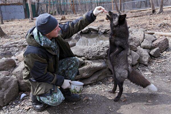 Un dipendente del parco safari del Territorio del Litorale russo dà da mangiare a una volpe. - Sputnik Italia