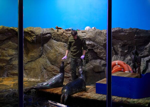 Come vivono i leoni marini nell'acquario di San Pietroburgo. - Sputnik Italia