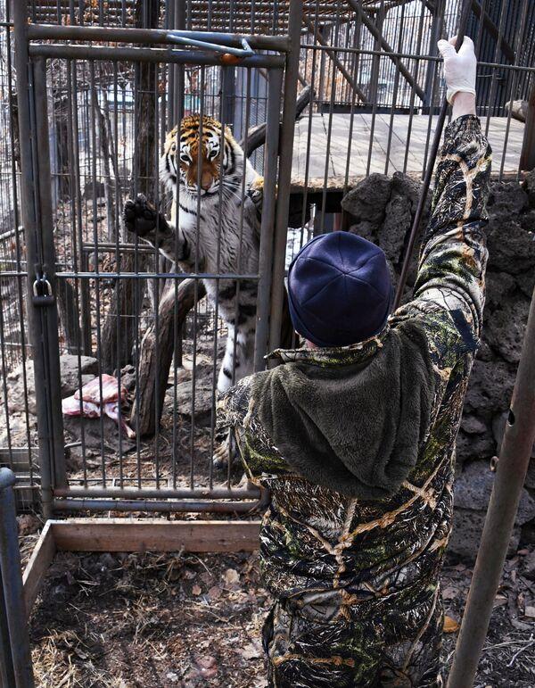 Un dipendente del parco safari del Territorio del Litorale russo dà da mangiare alla tigre di Amur che si chiama Ussuri. - Sputnik Italia