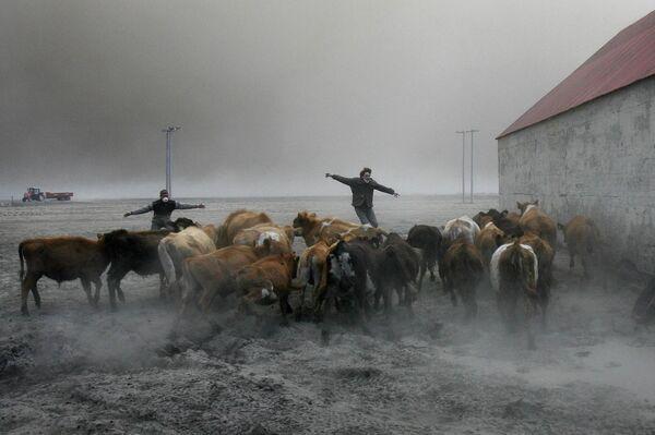 Pastori islandesi cercano di salvare le mandrie dalla cenere vulcanica tossica. - Sputnik Italia
