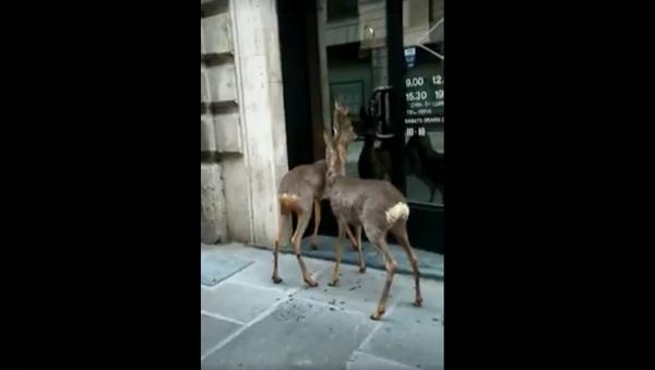 Caprioli cercano di entrare in un negozio - Sputnik Italia