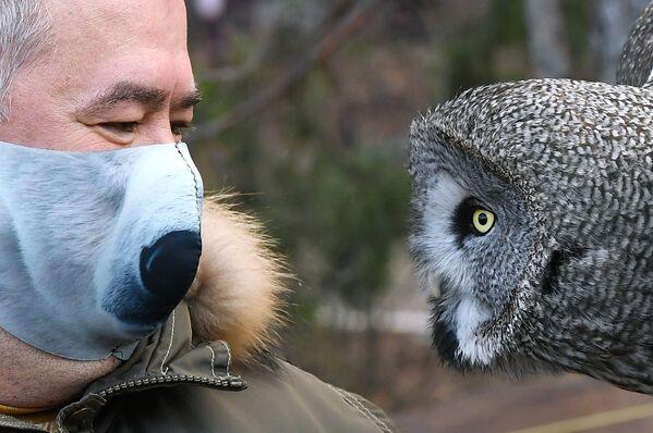 Direttore del parco di flora e fauna Roev Ruchey Andrei Gorban con un grande gufo grigio di nome Mykh a Krasnoyarsk - Sputnik Italia