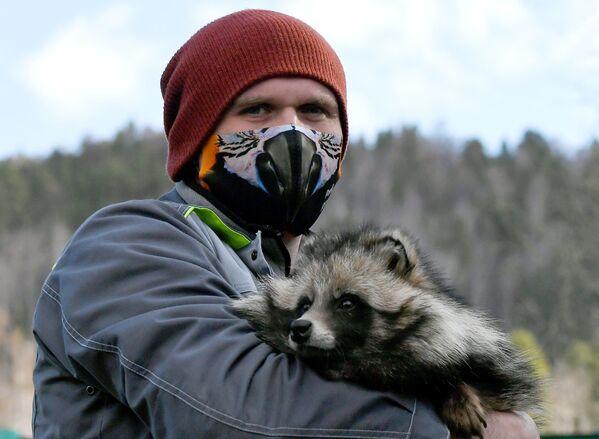 Zoologo del parco di flora e fauna di Roev Ruchey Evgeny Petrusev con un cane procione addomesticato di nome Motya a Krasnoyarsk - Sputnik Italia