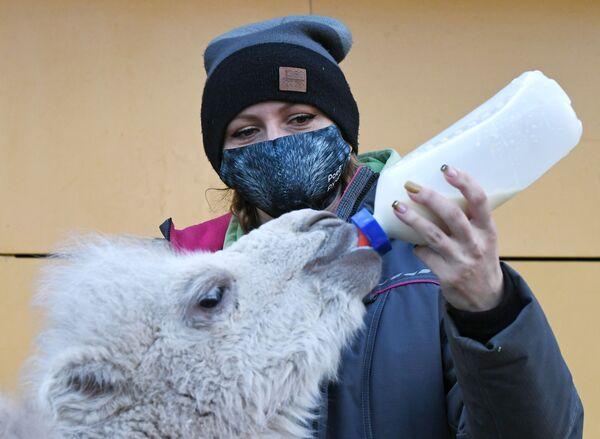 Zoologa del parco di flora e fauna di Roev Ruchey Marina Bayzarova nutre un neononato cammello a due gobbe a Krasnoyarsk  - Sputnik Italia