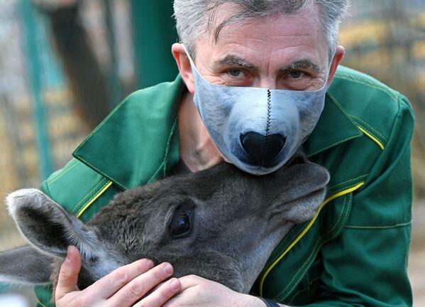 Oleg Chipura, impiegato del parco di flora e fauna di Roev Ruchey, gioca con un guanaco di nome Amigo a Krasnoyarsk - Sputnik Italia