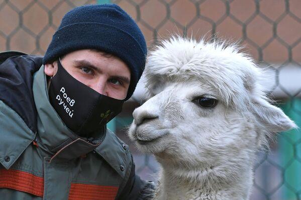 Zoologo del parco di flora e fauna di Royev Ruchey Semyon Pichuev con l'alpaca di nome Giulietta a Krasnoyarsk - Sputnik Italia