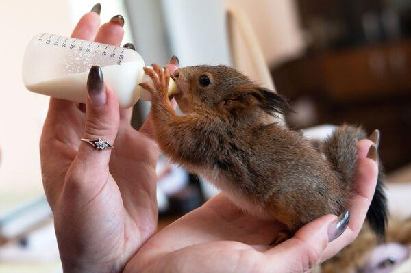 Oksana Timchenko, un'impiegata della riserva caucasica Culture del sud, nutre uno scoiattolo da una bottiglia - Sputnik Italia