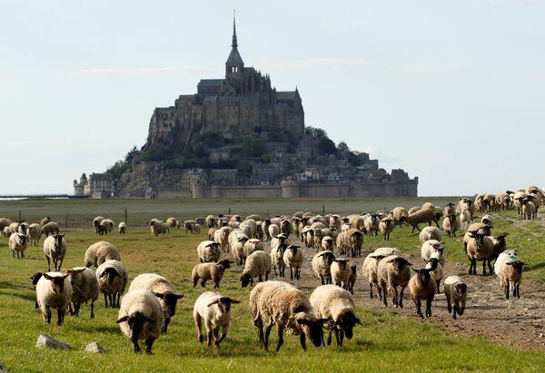 Pecore pascolano vicino al deserto Mont Saint-Michel nella regione occidentale francese della Normandia, Francia, il 18 aprile 2020 - Sputnik Italia
