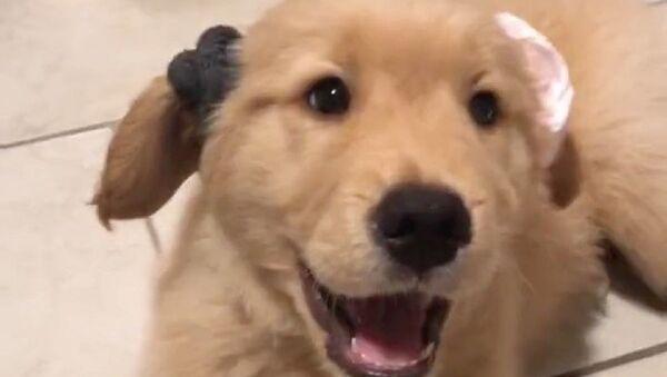 Chi è il più bello di tutti? Il cucciolo di Golden Retriever prova elastici per i capelli - Video - Sputnik Italia