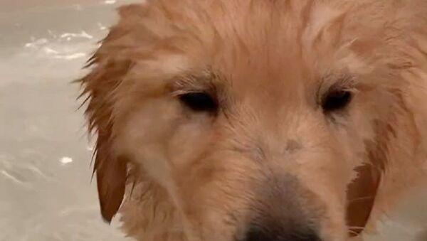 Tenero cucciolo di Golden Retriever fa il bagno nella vasca - Video - Sputnik Italia