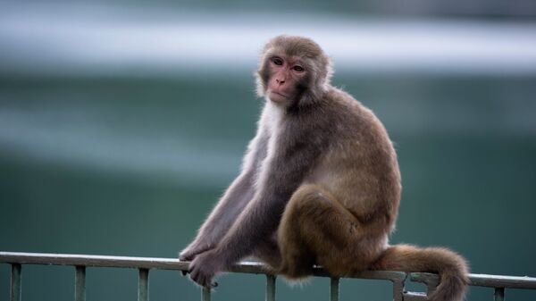 A macaque monkey sits on a fence in a country park in Hong Kong. - Sputnik Italia