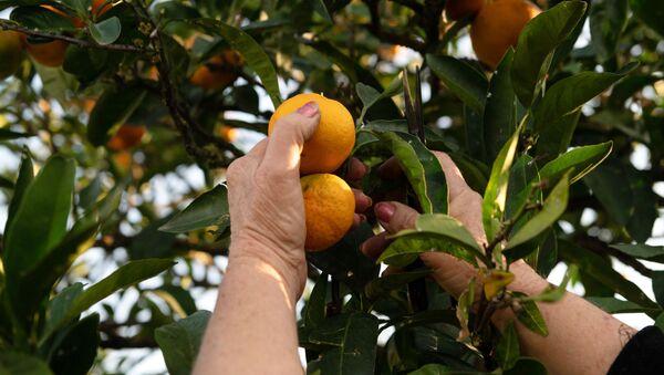 Raccolta dei mandarini - Sputnik Italia