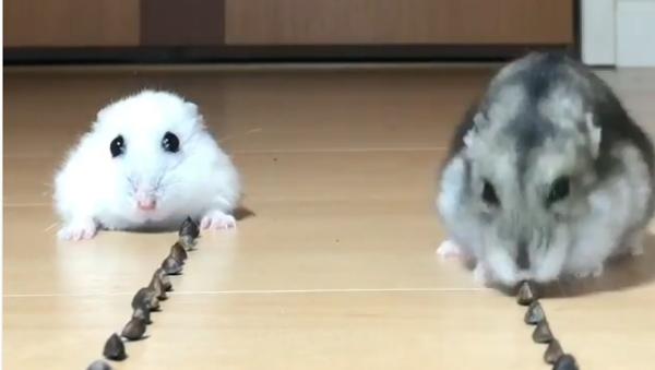 Hamsters - Sputnik Italia
