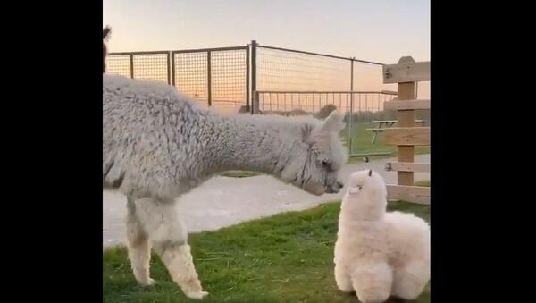 Alpaca giocattolo - Sputnik Italia