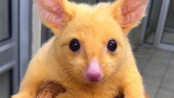 Opossum dorato Pikachu - Sputnik Italia