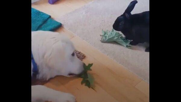 Coniglietto nero e Golden Retriever diventano migliori amici - Sputnik Italia
