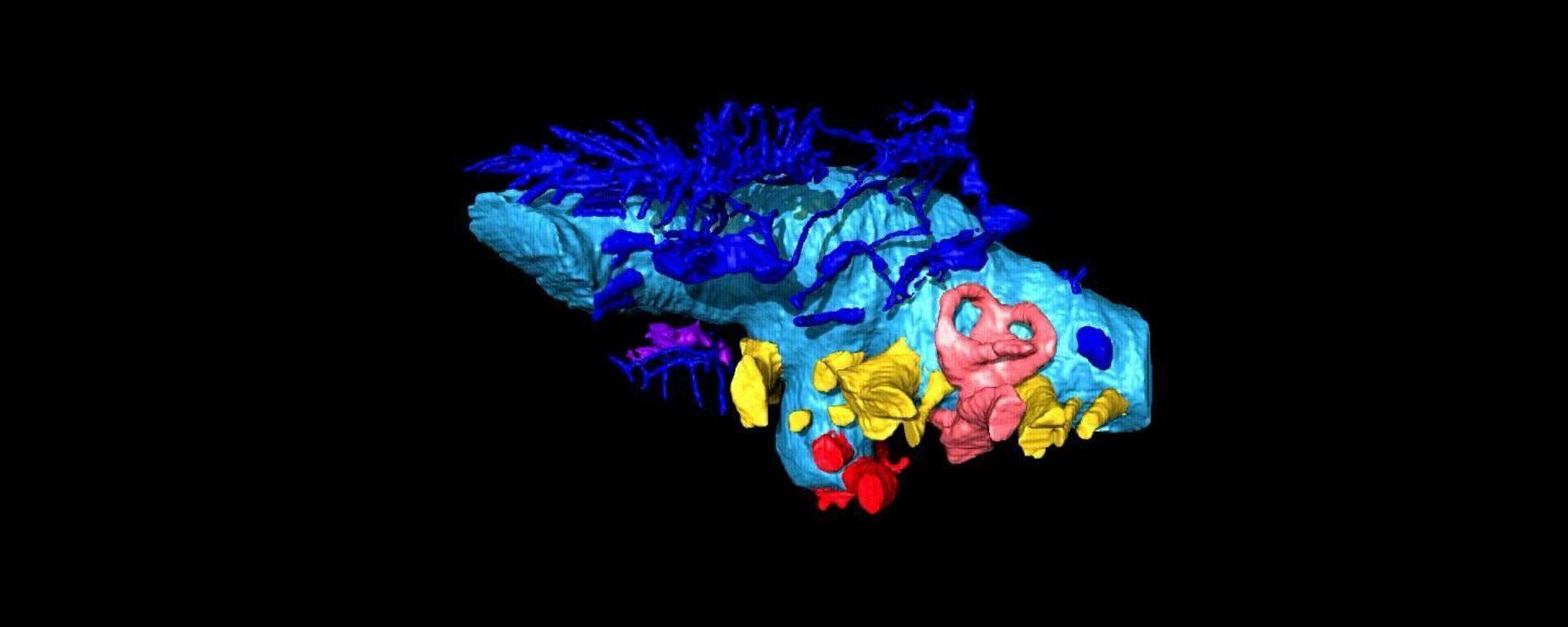 La ricostruzione virtuale 3D del cervello del dinosauro Bissektipelta archibaldi - Sputnik Italia, 1920, 07.06.2020