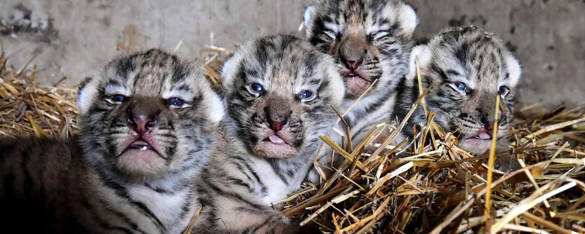 I cuccioli di tigre dell'Amur appena nati al safari park di Taigan, Crimea - Sputnik Italia, 1920, 06.06.2020