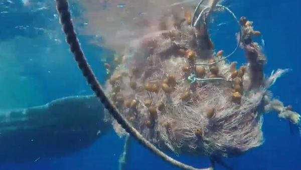 Un capodoglio rimasto intrappolato in una rete da pesca al largo di Salina, nelle Eolie, è stato soccorso e liberato - Sputnik Italia