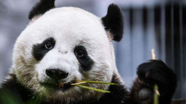 Panda Ru Yi dello zoo di Mosca - Sputnik Italia